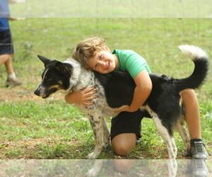 Blue Healer  border collie Breeder in FRANKLIN, TN, USA