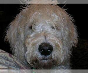 Main photo of Labradoodle Dog Breeder near STANTON, MI, USA