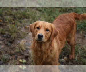 Golden Retriever Dog Breeder in FREDONIA,  USA