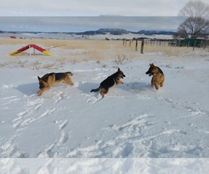 German Shepherd Dog Dog Breeder in FALCON,  USA