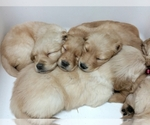 Golden Retriever Breeder in CLEAR LAKE, WI, USA