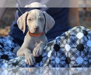 Irish Setter Dog Breeder near HARRISON, AR, USA