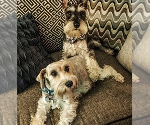 Main photo of Schnauzer (Miniature) Dog Breeder near CO SPGS, CO, USA