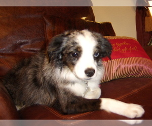 Main photo of Australian Shepherd Dog Breeder near HASLET, TX, USA