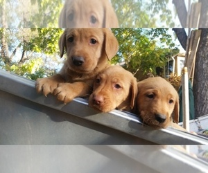 Labrador Retriever Breeder in DENVER, CO