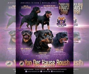Main photo of Rottweiler Dog Breeder near OAK GLEN, CA, USA