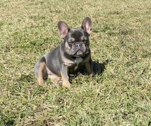 Main photo of French Bulldog Dog Breeder near PALM BCH GDNS, FL, USA