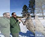 Irish Wolfhound Breeder in VERNAL, UT, USA