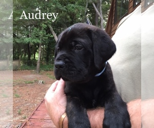 Mastiff Breeder in LILLIAN, AL