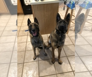 Main photo of Belgian Malinois Dog Breeder near WESTMINSTER, MD, USA