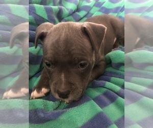 American Bully Dog Breeder in GILKEY,  USA