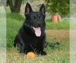 German Shepherd Dog Breeder in Thomson, IA