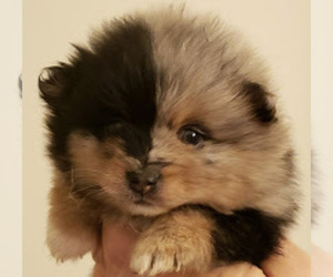 Main photo of Pomeranian Dog Breeder near LOUISVILLE, KY, USA