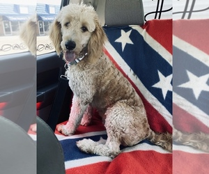 Main photo of Goldendoodle-Poodle (Standard) Mix Dog Breeder near SAINT ANTHONY, IN, USA