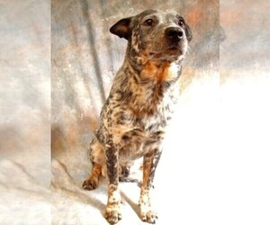 Main photo of Australian Cattle Dog Dog Breeder near BLACKBIRD, DE, USA