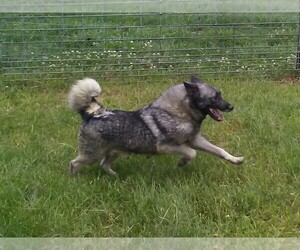 Norwegian Elkhound Dog Breeder near ROSEVILLE, IL, USA