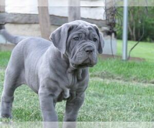 Main photo of Neapolitan Mastiff Dog Breeder near PETERSBURG, PA, USA