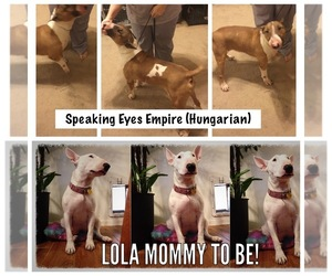 Bull Terrier Breeder in LAS VEGAS, NV