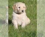 Goldendoodle Breeder in STOCKTON, CA, USA