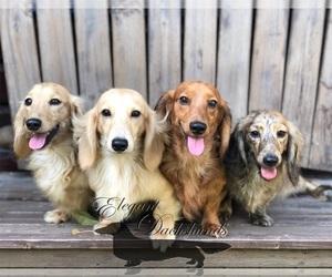 Main photo of Dachshund Dog Breeder near BEREA, TX, USA