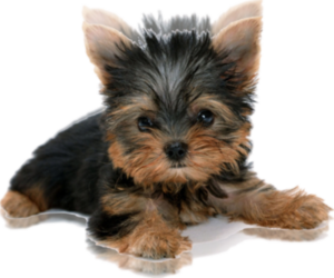 Main photo of Yorkshire Terrier Dog Breeder near CULPEPER, VA, USA