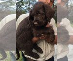 Labradoodle Breeder in LEHIGH ACRES, FL, USA