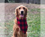 Golden Retriever Breeder in MACON, GA, USA