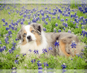 Main photo of Miniature American Shepherd Dog Breeder near NEW BRAUNFELS, TX, USA