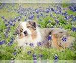 Miniature American Shepherd Breeder in NEW BRAUNFELS, TX, USA
