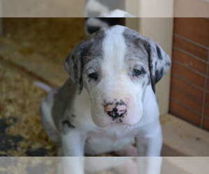 Great Dane Breeder in SPENCER, IN, USA