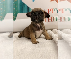 Main photo of French Bulldog Dog Breeder near BROOKLYN, NY, USA