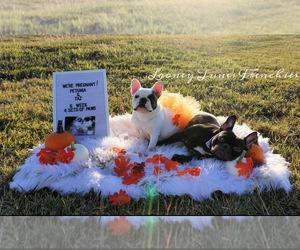Main photo of French Bulldog Dog Breeder near TAYLOR, TX, USA