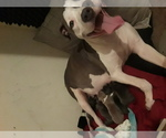 American Pit Bull Terrier Breeder in LITHONIA, GA, USA