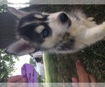Siberian Husky Breeder in FORT MADISON, IA, USA