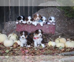 Australian Shepherd Dog Breeder in CIRCLEVILLE,  USA