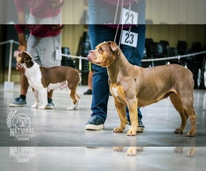 Main photo of Olde English Bulldogge Dog Breeder near MURRAY, KY, USA