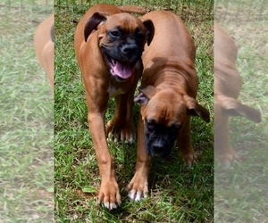 Boxer Breeder in MADISON HEIGHTS, VA, USA