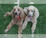 Poodle (Standard) Breeder in PAONIA, CO, USA