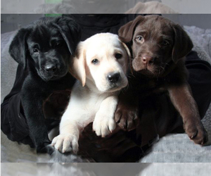 Main photo of Labrador Retriever Dog Breeder near PHOENIX, AZ, USA