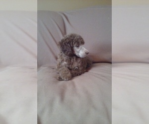 Main photo of Poodle (Standard) Dog Breeder near MCMINNVILLE, TN, USA