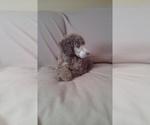 Poodle (Standard) Breeder in MCMINNVILLE, TN