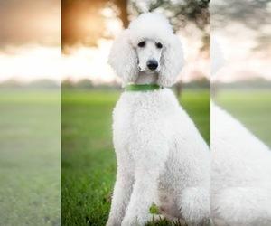 Main photo of Poodle (Standard) Dog Breeder near DAYTON, TX, USA