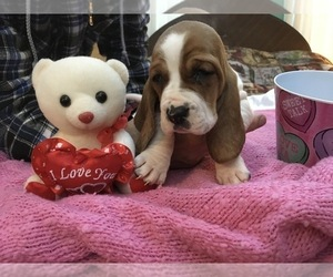 Basset Hound Dog Breeder near ABSECON, NJ, USA