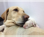 Labrador Retriever Breeder in DILLWYN, VA, USA