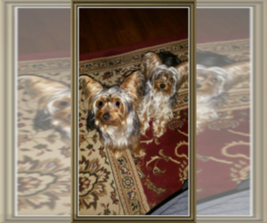 Main photo of Yorkshire Terrier Dog Breeder near ARLINGTON, TX, USA