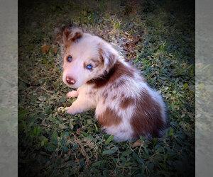 Collie Dog Breeder in EDEN,  USA