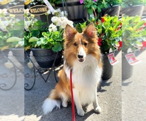 Shetland Sheepdog Dog Breeder near CHURCHVILLE, NY, USA