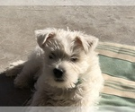 West Highland White Terrier Breeder in SEDRO WOOLLEY, WA, USA