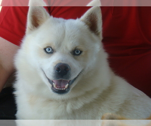 Pomsky Dog Breeder in ASHLAND,  USA
