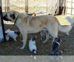 Anatolian Shepherd Breeder in GRAYSVILLE, TN, USA